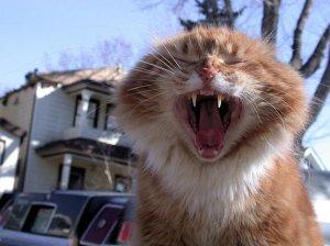yawning_big_cat